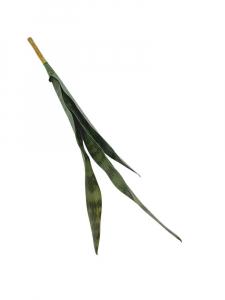 Sansewiera XL 68 cm zielona