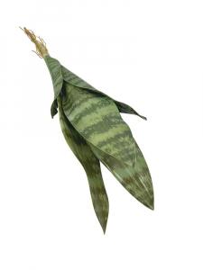 Sansewiera 49 cm zielona